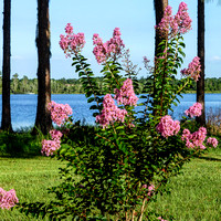 Small Crape Myrtle