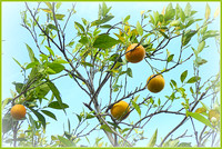 Oranges at the Tree Top