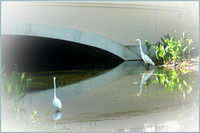 Great White Egrets in the Canal