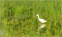 Egret in Wetland