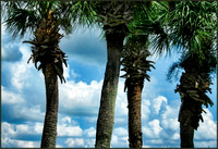 Palm Trunks and Clouds