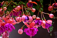The Exuberance of Fuschia
