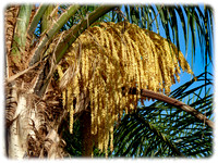 Queen Palm Flowers